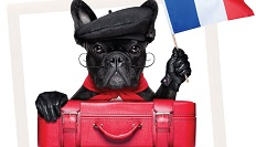 French bulldog in beret
